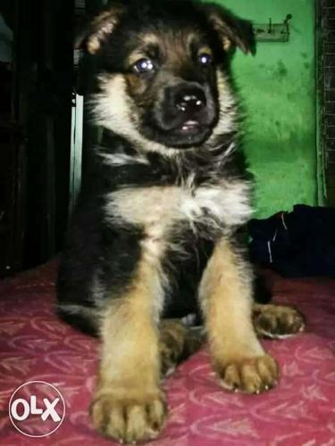 Reddish German Shepherd Puppy
