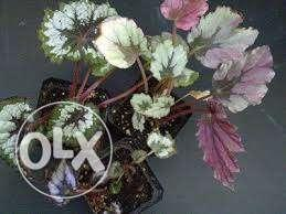 Rex Begonia Varietes For Colourful Indoor Plants For Sale