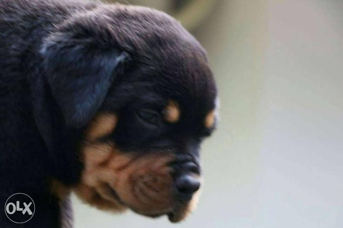 Rottweiler puppy male and female kci breed good for Sale in