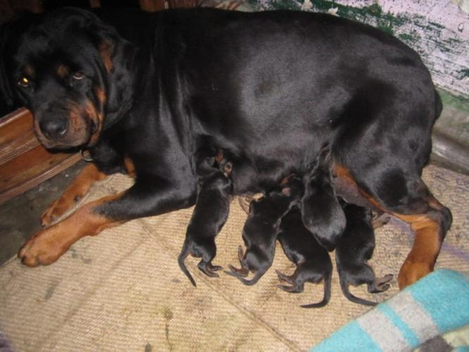 large puppies for sale