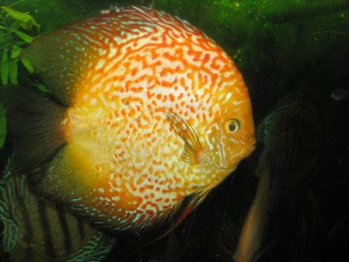 Sale for discus fish marine fish for sale in rajkot for Discus fish for sale near me