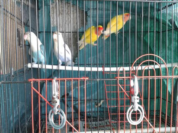 Sale of African Love birds, Pune for Sale in Haveli