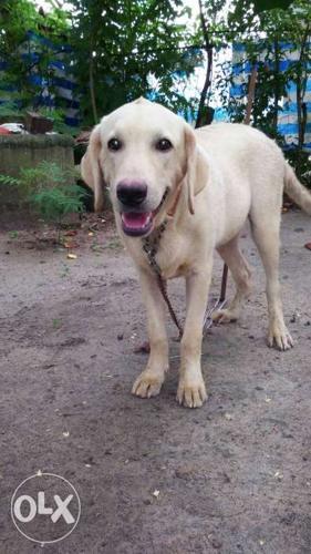 Short-coat Yellow Dog