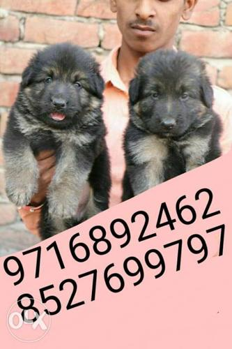 Show quality ** German shephrd puppies and all