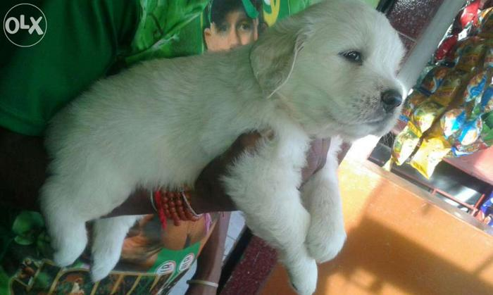 Show Quality Golden Retriever Puppies Available For Sale In