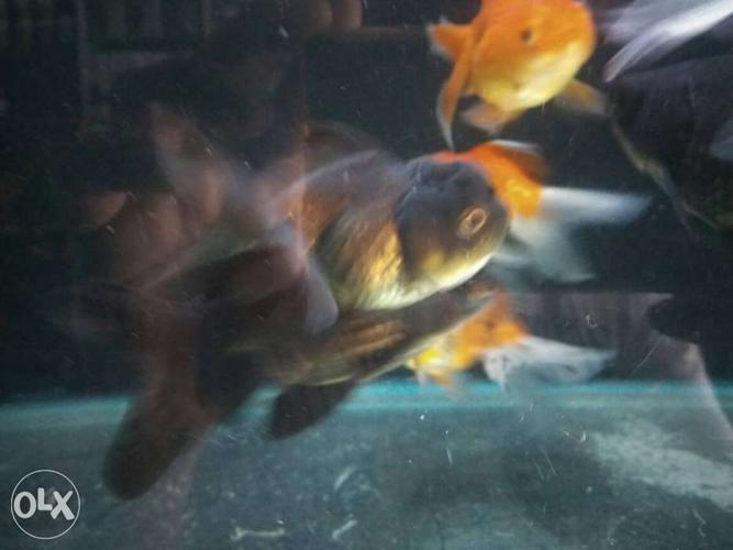 Simply gold fish Red cap gold fish Oranda gold