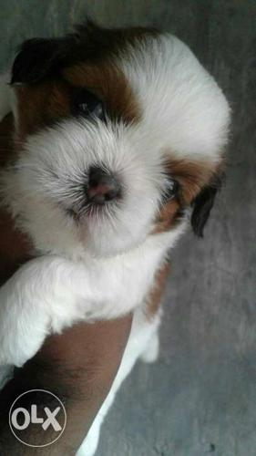 Sitzu pup's available