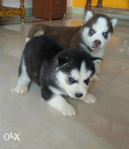 Snow Land Siberian Husky Puppies For Sale In Cherthala Kerala