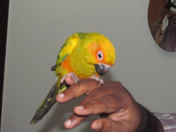 Sun Conure Parrot For Sale Bangalore For Sale In Bangalore South Karnataka Classified Indialisted Com