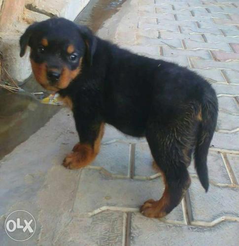 Tan And Black German Shepherd Puppy For Sale In Nainital