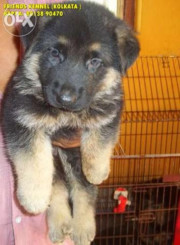 This German shepherd dogs sell ::: Friends kennel for Sale