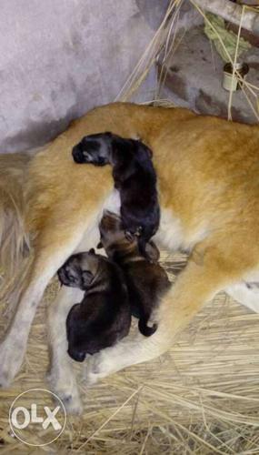 Top 10 Punto Medio Noticias   Tibetan Mastiff Price Olx