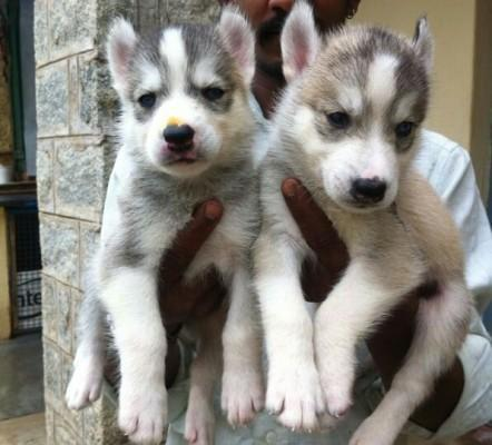 Top Bloodline Siberian Husky Puppies Are Available For Show Home