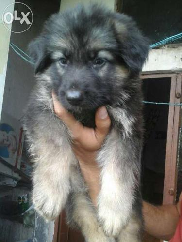 Pets For Sale In Punjab