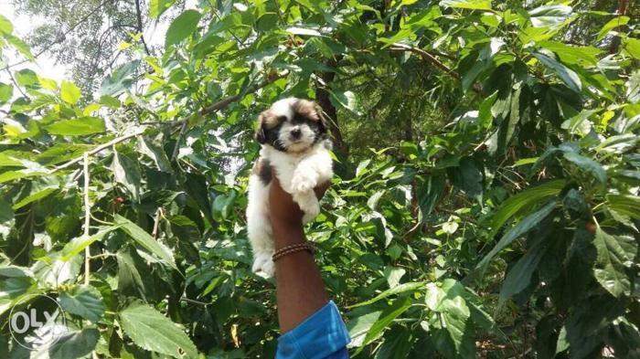 Top qulaity Shihtzu male puppies available 23000