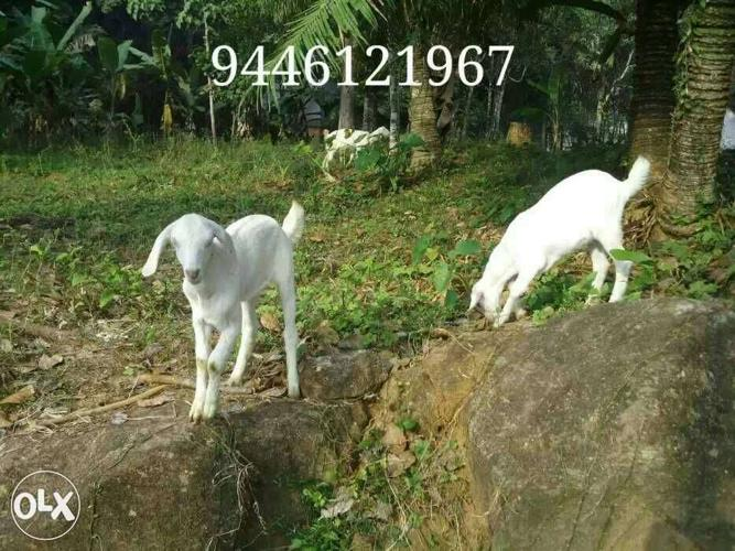 Two baby goats for sale  for Sale in Vaikom, Kerala Classified