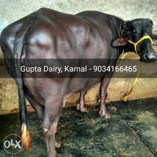 We are supplier of HF, Jersi, Sahiwal cows and Murrah