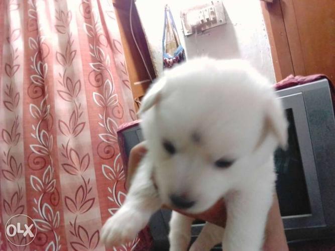 White cute puppies