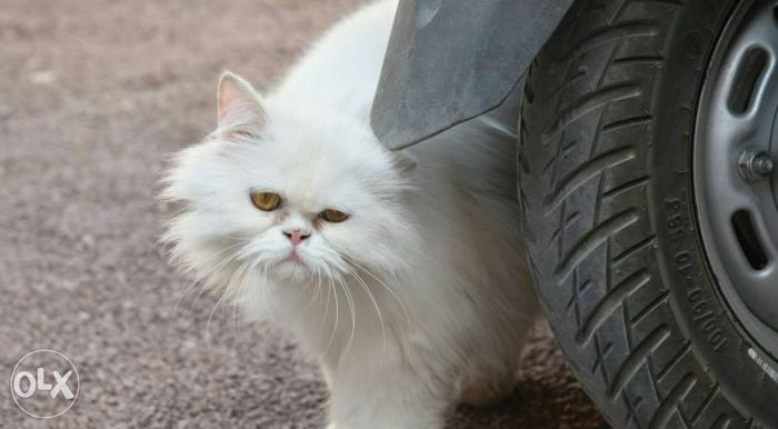 White Persian Cat for Sale in Jodhpur, Rajasthan Classified