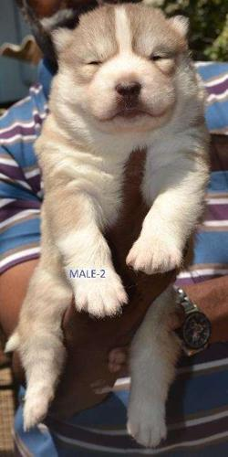 World no 1 quality husky puppies available with paper