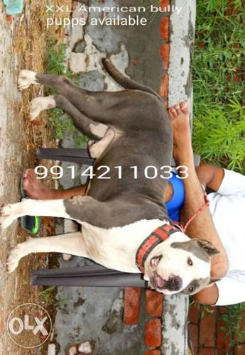 Xxl american bully pupps available in blue colour for Sale