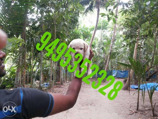 Yellow Labrador Retriever Puppy good quality