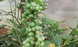 We have different variety of 2 years old blueberry plants in stock..
