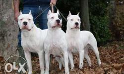 Dogo Argentino puppies available sell {{{{{ Big kennel }}}}