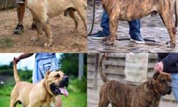 The Perro de Presa Canario A K A the Canary Mastiff is a large Molosser-type dog breed originally bred for working livestock Life span: 9 � 11 years Origin: Canary Islands Temperament: Strong Willed Suspicious Gentle Dominant Calm Height: Female: 56�61 cm