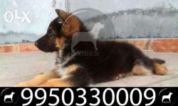 Truley pure German Shepherd Pups for at New in jaipur