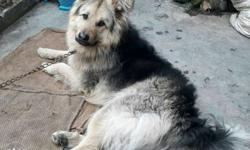 1 year 5 month old gsd male for sale (note)this dog is