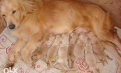 25 days puppies female golden retriever pure quality