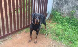 Rottweiler healthy female near to heat interested