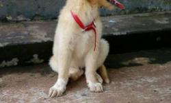 2 mnths old golden retriever female puppy with kci