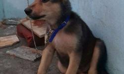 2 month gsd..