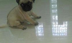 2 month old, Best of Quality original PUG pupies for