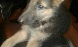 2 months GSD female for sale.