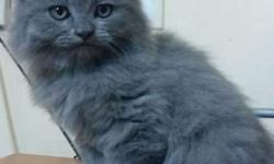 2 months old male persian kitten... if interested plz