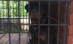 2 year. old rott male for sale, with paper