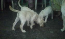 Expired ad. Please do not contact! 3-Months Labrador