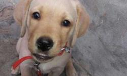 3 months old female labrador with full vaccination and