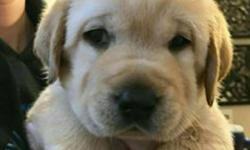 3F Kennel Feroz Offering LAB Male and Female available