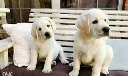 3F Kennel Feroz Offering LAB Male and Female Puppies