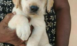 40 days Lab female puppies for sale Rs.5000