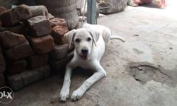 4month Lab puppy for sale