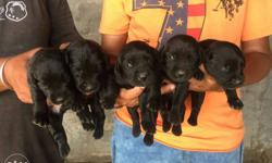 5 Labrador male 20 Days Booking Start . Only Call