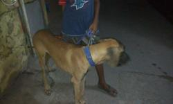 Semi adult 6.5 months old greatdane male for sale in