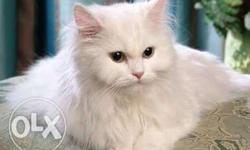 7 months old Pure white Doll Face Persian cat for sale