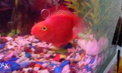 A Jambo size heart shape parrotfish for sell