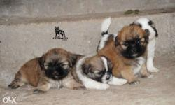 Adorable lhasa Apso puppies available